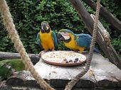 Twin Macaws Feeding