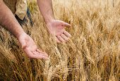 Farmer With His Harvest Male hand touching wheat