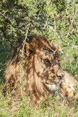 Lion lying in the shade camouflaged under a tree