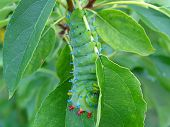 stock photo of cocoon tree  - Caterpillar of the Cecropia Moth - JPG