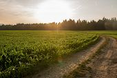Sunrise Over A Field Of Young Maize Plants