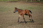 Baby horse galloping in pasture