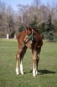 Cute foal standing  in summer field