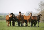 pic of horse-breeding  - Beautiful herd of thoroughbred horses in pasture - JPG