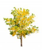 foto of cassia  - Golden shower tree  - JPG
