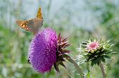 Butterfly Sitting On A Milk Thistle