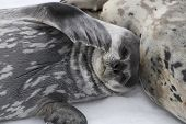 Weddell Seal Pup Lying Beside A Female On The Ice