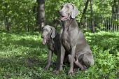 Shorthaired Weimaraner Dogs Outdoor