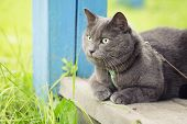 British Shorthair Cat Si On Veranda