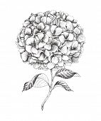 Hand-drawn hydrangea, vector illustration in vintage style.