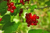 Juicy Ripe Red Currant