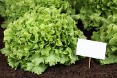 Lettuce In Vegetable Garden With White Sign And Copyspace