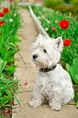 stock photo of west highland white terrier  - west highland white terrier in a garden - JPG