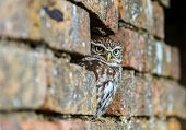 Little Owl Hiding In An Old Wall