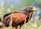 Harris Hawk Hiding In Long Grass