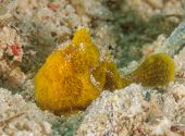 Small Frogfish Hiding Near Grains Of Sand