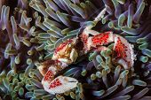 Finger Nail Sized Crab In An Anemone - Siamil