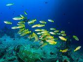 Yellow snapper underwater
