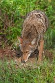 Coyote (Canis latrans) Sniffs Ground Outside Den