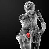 3D Render Female Bladder Anatomy X-ray