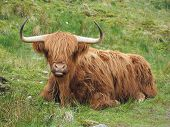 stock photo of cattle breeding  - Highland cattle lying down in the grass western Scotland - JPG