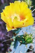 Yellow Bloom Of Opuntia Humifusa