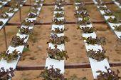 Hydroponics Seedling In Farm