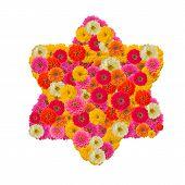 Zinnias Star Flower Isolated On White Background