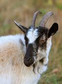 Portrait rural billy goat