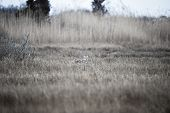 image of dartmouth  - Coyote scouts marsh for an early morning meal - JPG