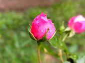 Pink rosebud in the rain
