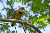 Northern Flicker Male Yellow Shafted