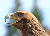 pic of angry bird  - angry Eagle with open beak and tongue out - JPG