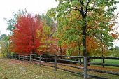 Maple Trees In Automn