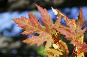 Maple Leaves In Automn
