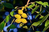Fruits Of A Walnut (juglans Regia)