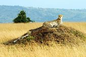 Постер, плакат: A cheetah Acinonyx jubatus and cheetah cub on the Masai Mara National Reserve safari in southweste