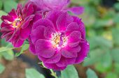 Violet Rose Blooming In Garden