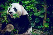 Giant panda looking at camera