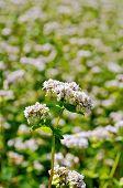 foto of buckwheat  - White flowers of buckwheat on the background of green leaves on the buckwheat field - JPG