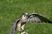 Isolated Peregrine Falcon On The Lawn