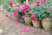 Floribundas Rose In Pot