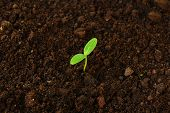 Green Cucumber Seedling