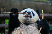 one giant Panda bear eating bamboo roots in Chengdu Sichuan China