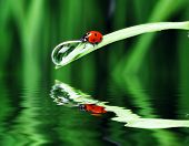 Ladybug and Water Drop On The Grass