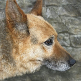 picture of shepherdess  - Portrait of an old dog outdoors on a background of gray stone wall - JPG