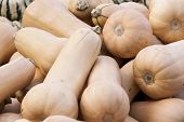 pic of butternut  - Butternut Butternuss cucurbita pumpkin pumpkins from autumn harvest on a market - JPG