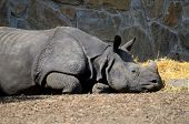 picture of rhino  - Single rhino resting during hot day in Wroclaw - JPG