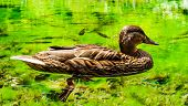 picture of duck  - Wild duck on a pond - JPG