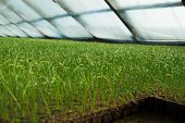 picture of greenhouse  - Organic greenhouse. A look into a greenhouse ** Note: Visible grain at 100%, best at smaller sizes - JPG